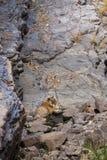 Tigre em um waterhole imagens de stock