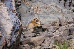 Tigre em um waterhole fotos de stock