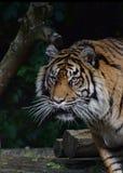 Tigre em uma árvore fotos de stock royalty free