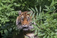 Tigre em uma árvore fotografia de stock royalty free