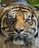 Tigre em uma árvore imagens de stock