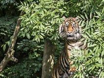 Tigre em uma árvore imagem de stock royalty free