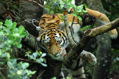 Tigre en árbol Fotografía de archivo libre de regalías