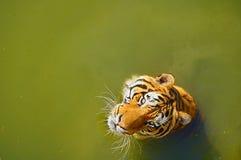 Tigre en agua Foto de archivo libre de regalías