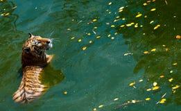 Tigre en agua Imágenes de archivo libres de regalías