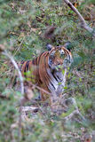 Tigre en arbusto Foto de archivo libre de regalías