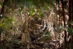 Tigre en Bandhavgarh, la India Imagen de archivo