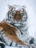 Tigre en bosque del invierno de la nieve Fotografía de archivo