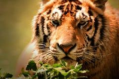 Tigre en desierto fotos de archivo