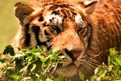 Tigre en desierto fotos de archivo libres de regalías