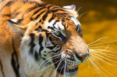 Tigre en el agua 2 Foto de archivo libre de regalías