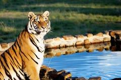 Tigre en el agua Foto de archivo