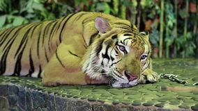 Tigre en el correo del hierro en parque zoológico almacen de video