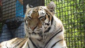 Tigre en el parque zoológico Fotos de archivo libres de regalías