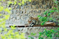 Tigre en el parque zoológico Imágenes de archivo libres de regalías