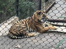 Tigre en el parque zoológico de Kansas City imagenes de archivo