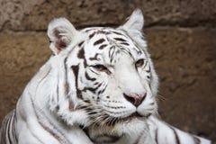 Tigre en el parque zoológico de Moscú Imagenes de archivo