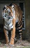 Tigre en el parque zoológico del nacional del Washington DC Foto de archivo