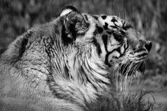 Tigre en el parque zoológico en blanco y negro imagen de archivo