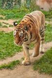 Tigre en el parque zoológico en Hannover fotografía de archivo