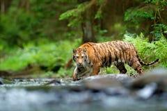 Tigre en el río Escena de la fauna de la acción del tigre, gato salvaje, hábitat de la naturaleza Tigre que se ejecuta en agua An Fotos de archivo