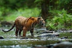 Tigre en el río Escena de la fauna de la acción del tigre, gato salvaje, hábitat de la naturaleza Tigre que se ejecuta en agua An Fotos de archivo libres de regalías