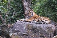 Tigre en el salvaje Imagen de archivo libre de regalías