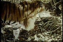 Tigre en el vagabundeo almacen de metraje de vídeo