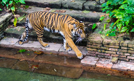 Tigre en el waterhole 2 Fotografía de archivo libre de regalías