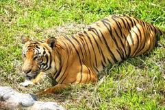 Tigre en esperar Imágenes de archivo libres de regalías
