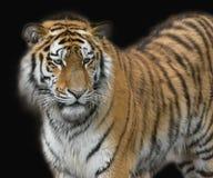 Tigre en fondo negro Foto de archivo libre de regalías