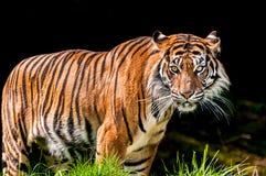 Tigre en fondo oscuro foto de archivo