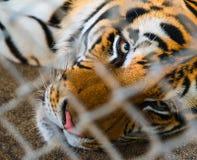 Tigre en jaula Imagen de archivo