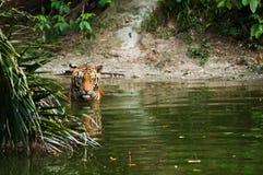 Tigre en la charca Fotografía de archivo libre de regalías