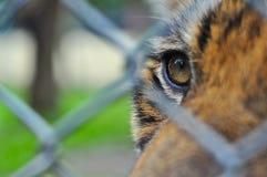 tigre en la jaula del balaustre Foto de archivo libre de regalías
