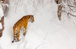 Tigre en la nieve Fotos de archivo libres de regalías