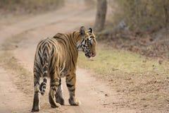 Tigre en la pista del bosque Fotos de archivo