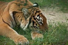 Tigre en parque zoológico Imagenes de archivo