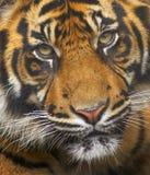 Tigre en peligro de Sumatran fotos de archivo libres de regalías