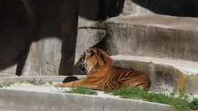 Tigre en un parque almacen de video