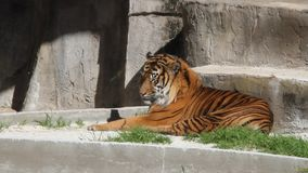 Tigre en un parque almacen de metraje de vídeo
