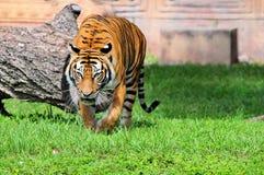 Tigre en un parque zoológico Imágenes de archivo libres de regalías