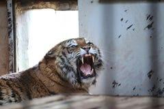 Tigre en una jaula Fotos de archivo
