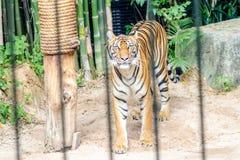 Tigre en una jaula Fotografía de archivo libre de regalías