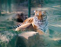 Tigre en una jaula en el parque zoológico Foto de archivo libre de regalías