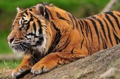 Tigre en una roca imágenes de archivo libres de regalías
