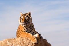 Tigre encaramado Foto de archivo libre de regalías