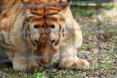Tigre enjaulado que mira fijamente la tierra Foto de archivo libre de regalías