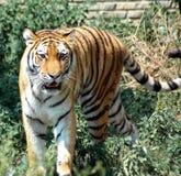 Tigre enojado Imagen de archivo libre de regalías