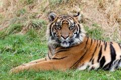 Tigre enojado de Sumatran que miente en la hierba Imágenes de archivo libres de regalías